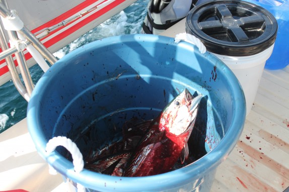 Where does all that fish blood come from? It was a bloodbath on the back deck.