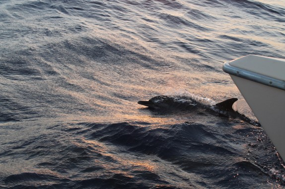 Dolphin jumping under the starboard bow.