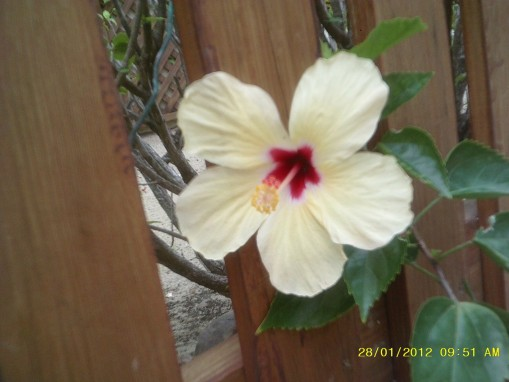 Lily takes a dozen flower pics every day. She likes the Hibiscus flowers because there are many different colors.