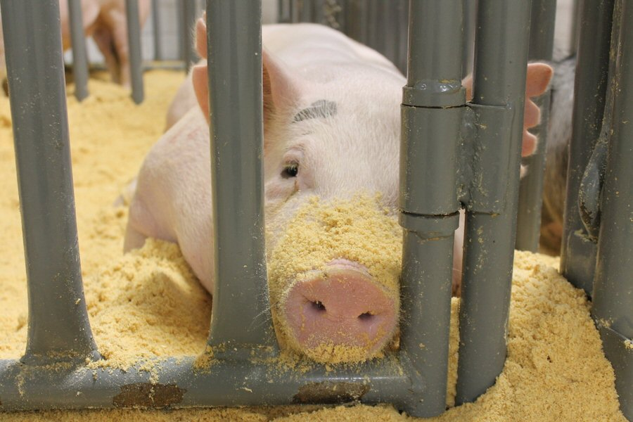 Too Lazy To Shake Sawdust From Your Snout? I Understand.