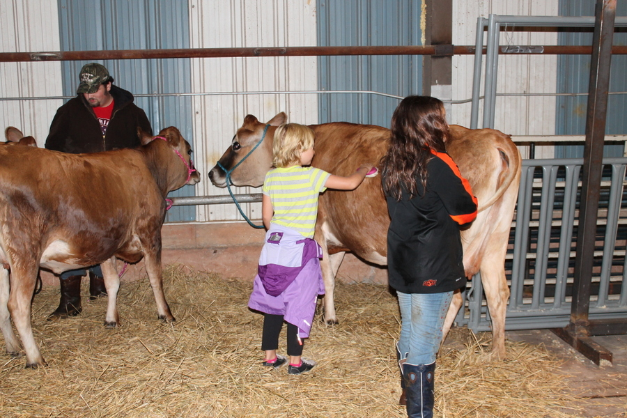 Lily grooming a cow at the Beckham County Fair