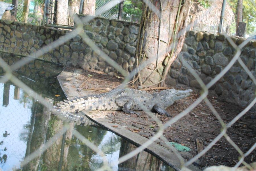 Nana Juana Pet Gator - Pic By Lily