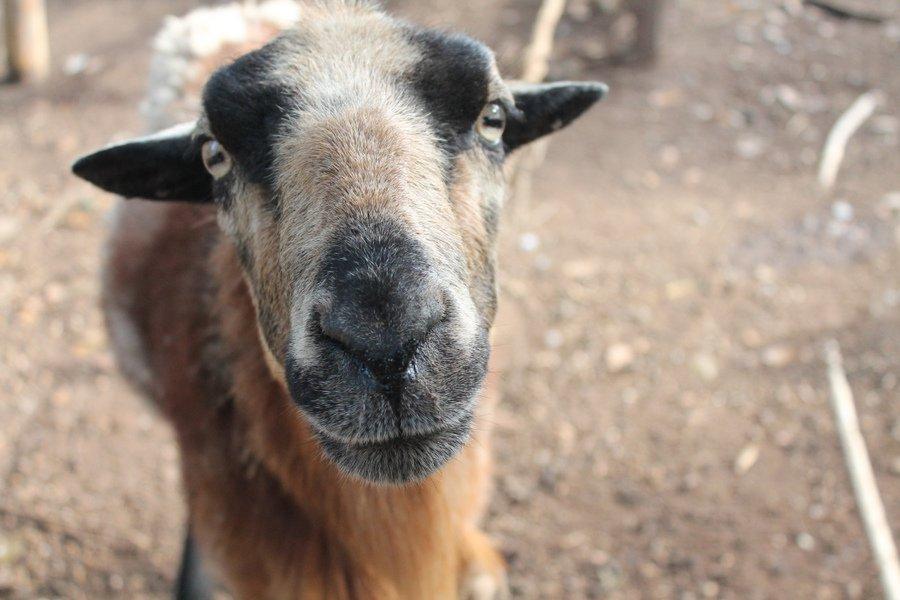 Nana Juana Pet Goat - Pic By Lily