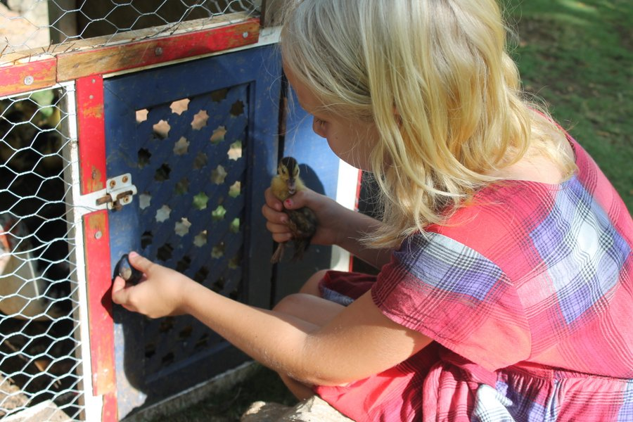 Lily putting a baby duck back in the pen after I nixed the adoption plan.
