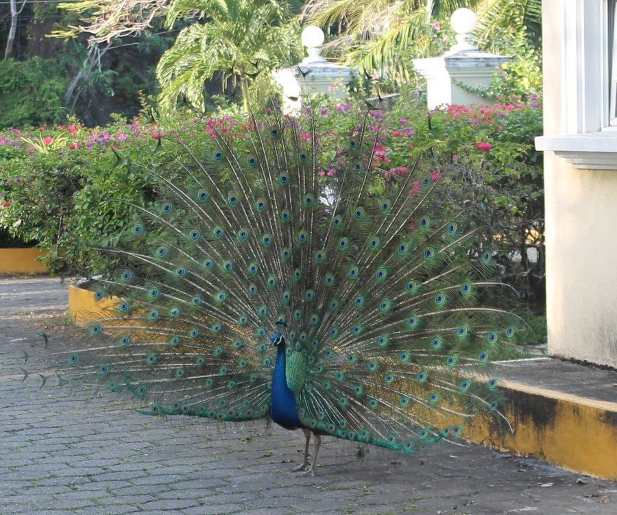 Front gate peacock looking for fun-loving peahen who enjoys ripe fruit and long beach walks.