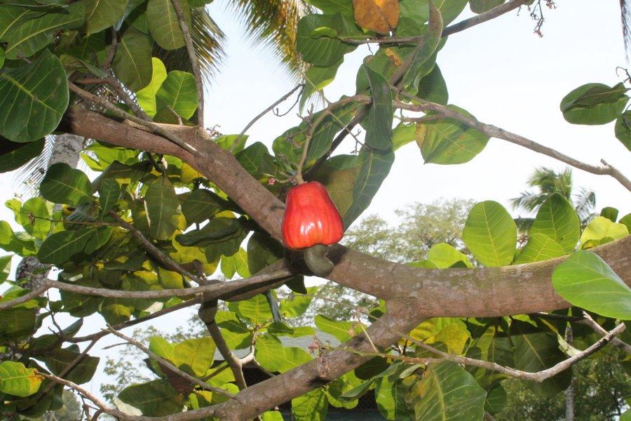 Ripe cashew hanging in a cashew tree