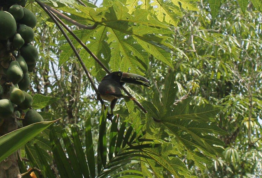 Tropical bird in the papaya tree.