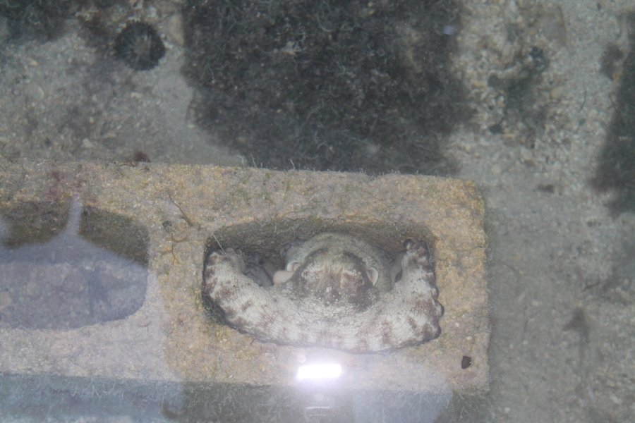 Octopus curled up in a cinder block underwater.