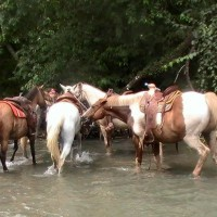 Tied up in the San Marcos, Cowboy decided to nip Gus on the hindquarter. They jostled around until they were free but strayed only a tiny way upstream. spreading out so they didn't have to share nibbles.