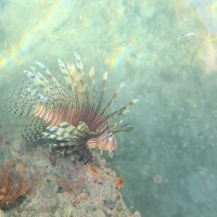 Lionfish by piling at Fantasy Island Marina.
